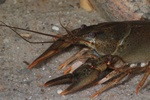 European crayfish, Noble crayfish (Astacus astacus)